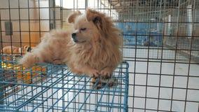 Gimbal steadicam van droevige hond in schuilplaats wordt geschoten die op de bovenkant van kooi liggen die Schuilplaats voor dier stock footage