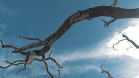 Gimbal steadicam van een droge, dode boom met abstracte takken tegen een blauwe hemel wordt geschoten die Eenzame droge boombooms stock videobeelden