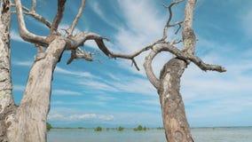 Gimbal steadicam van een droge, dode boom met abstracte takken tegen een blauwe hemel wordt geschoten die Eenzame droge boombooms stock footage