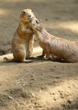 Gimme a Little Kiss. Two Prarie Dogs cuddling and kissing each other. Copy space below Prarie Dogs stock photography