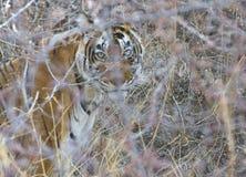 Ginący tygrys Zdjęcia Royalty Free