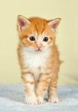 Ginder Kätzchen, das auf einer blauen Decke steht Lizenzfreies Stockbild
