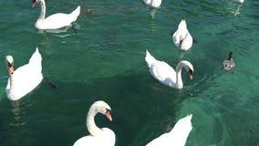 GINEBRA, SUIZA: Cisnes y patos en el lago de Ginebra, Suiza almacen de video