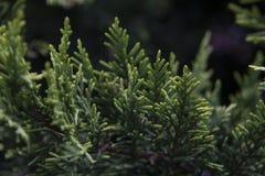 Ginepro - conifera sempreverde nel genere juniperus Fotografia Stock