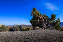 Ginepro del Mojave Immagini Stock