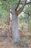 Ginepro dell'alligatore Fotografie Stock Libere da Diritti