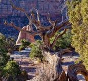 Ginepro dell'Utah e roccia rossa Fotografie Stock