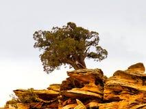 Ginepro dell'Utah su roccia rossa Fotografia Stock