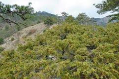 Ginepro sempreverde dell'albero Fotografie Stock Libere da Diritti