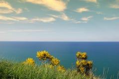 Ginestra amarelo Fotografia de Stock Royalty Free