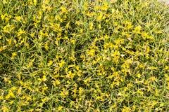 Ginestra, arbusto appuntito con i fiori gialli immagine stock