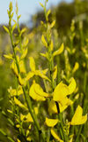 Ginestra blommar en typisk medelhavs- växt Fotografering för Bildbyråer