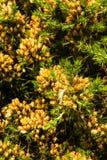 Ginestrone di europaeus di ulex, ginestrone comune, ginestrone o whin Macro Fotografie Stock Libere da Diritti