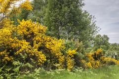 Ginestrone, europaeus di ulex fotografie stock