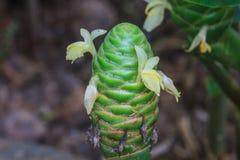 Gingembre de cône de pin rouge dans les jardins Images stock