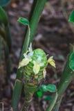 Gingembre de cône de pin rouge dans les jardins Photo libre de droits
