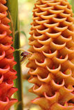 Gingembre de nid d'abeilles de ruche Images libres de droits