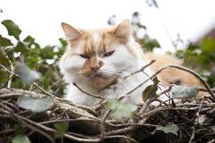 Gingembre et chat blanc Photos libres de droits