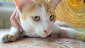 Gingembre et chaton blanc Photo libre de droits