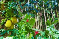 Gingembre rouge de jacquier et de Tahitian Images libres de droits