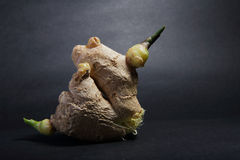 Ginger 12. Fresh ginger tuber on gray background royalty free stock photography