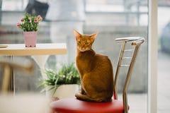 Ginger Abyssinian-Katze sitzt auf Stuhl nahe der Tabelle und schaut in camera Warmes Tonbild Lebensstilhaustierkonzept Stockfotos