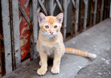 Ginger adorable meowing tabby thai kitten. outdoors Stock Photo