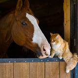 Ginger and bay. Ginger cat sitting on a barn next to a bay horse Stock Images
