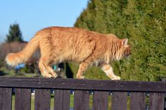 Ginger big cat on the fence Royalty Free Stock Image