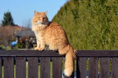 Ginger big cat on the fence Royalty Free Stock Photos