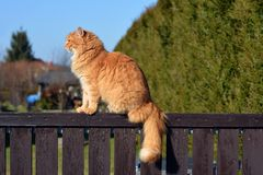 Ginger big cat on the fence Stock Images