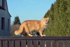 Ginger big cat on the fence Royalty Free Stock Photo