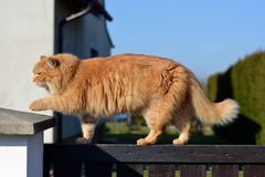 Ginger big cat on the fence Stock Image