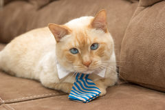 Ginger blue-eyed cat in tie Stock Photography