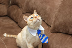 Ginger blue-eyed cat in tie Royalty Free Stock Photos