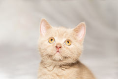 Ginger British cat Royalty Free Stock Photos