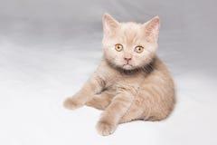 Ginger British cat Stock Photography