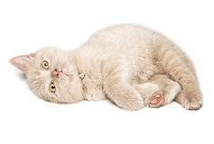 Ginger British cat Royalty Free Stock Images