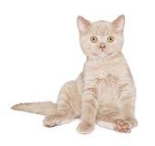 Ginger British cat Stock Photo