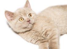 Ginger British cat Royalty Free Stock Image