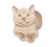Ginger British cat Royalty Free Stock Photography