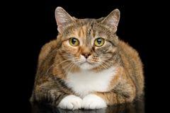 Ginger Calico Cat gordo no fundo preto isolado imagem de stock royalty free
