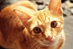 Ginger Cat. From Lombok, Indonesia royalty free stock photo