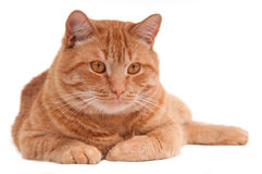 Ginger cat. Portrait of a serious ginger cat lying on the floor Royalty Free Stock Photos