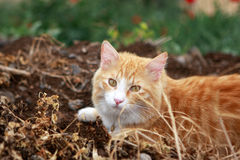 Ginger cat. In the dry grass stock photo