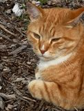 Ginger cat 2. Ginger colored cat, resting Royalty Free Stock Image