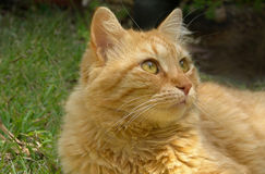 Ginger cat. On a grass Stock Image