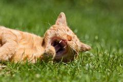 The ginger cat Royalty Free Stock Photo