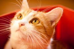 Ginger cat. Royalty Free Stock Photography