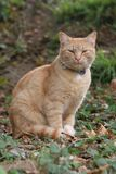 Ginger Cat. Close up of ginger cat sitting amongst the leaves stock photo
